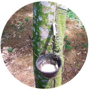 Extracción de látex Hevea Brasiliensis